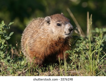 A groundhog in a city park. Canada.