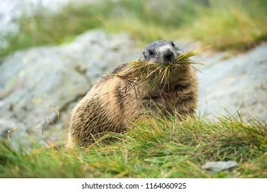 groundhog collecting grass for building a nest - Großglockner Austria