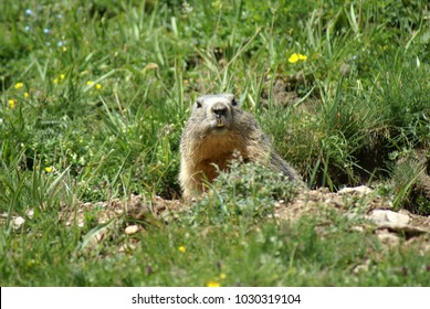 Groundhog coming out of a hole in mountain field