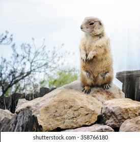 groundhog day. Groundhog emerged from his burrow
