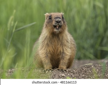 Groundhog day, marmota bobak