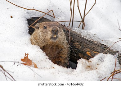 Groundhog Emerging from a Snow Covered Den