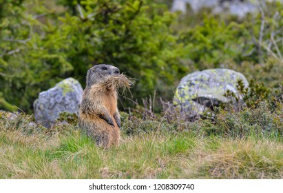 Groundhog with grass in his mouth in Valle Varadega