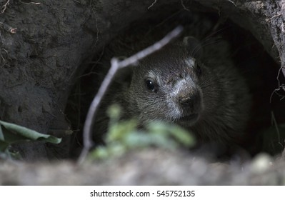A groundhog hides in his hole in the middle of a historic graveyard in Western New York