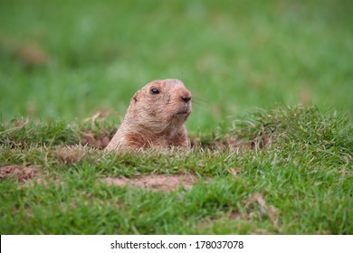 A Groundhog in a Hole Looking Curiously