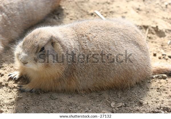 Groundhog laying on the sun