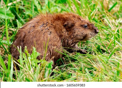 Groundhog or Marmot, Large North American Rodent
