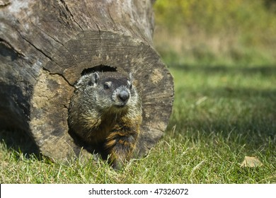 Groundhog  (Marmota monax) crawl out of the end of a hollow log