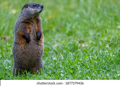 Groundhog (Marmota monax), also known as a woodchuck, standing and looking for danger during summer. Selective focus, background blur and foreground blur. Copy Space