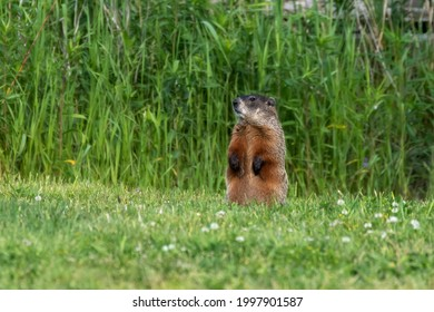 The groundhog (Marmota monax), also known as a woodchuck on a meadow.