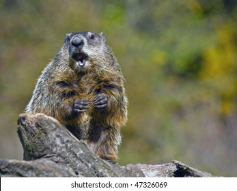 Groundhog  (Marmota monax) sits on a fallen log his front paws are being held in front of him and his mouth is open.