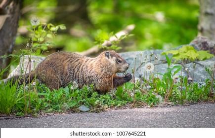 Groundhog Picking Flowers