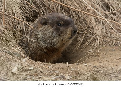 Groundhog poking his head out of hie burrow. Also known as a Wood Chuck. Tommy Thompson Park, Toronto, Ontario, Canada.