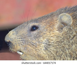 A groundhog, showing details of the face.