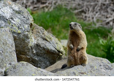Groundhog sitting on a Rock watching