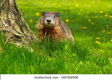 Groundhog standing at the base of a tree looking with a dandelion covered lawn background. Also known as a Woodchuck. Ashbridges Bay Park, Toronto, Ontario, Canada.