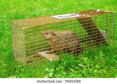 A groundhog in a trap. Fitting punishment for eating my garden.