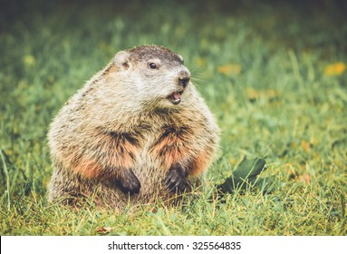 Groundhog in vintage garden setting, standing up with mouth open, looking right