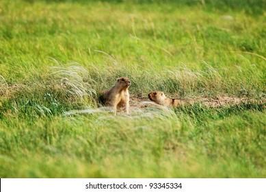 Groundhogs near the hole in prairie