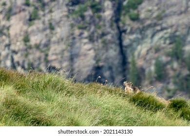 Groundhogs on Riffelberg, Valais, Switzerland