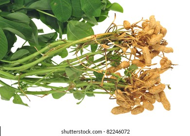 Groundnut Plants With Groundnut Attached