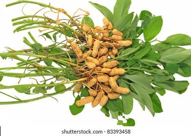 Groundnut Plants Isolated On White Background