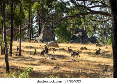 Grounp of Kangaroos in the Grampians National Park, Australia. Some are sitting, laying on the ground or jumping. Big rock boulders in the background.