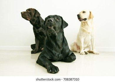group of 3 labradors