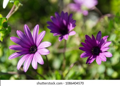 Group of 3 purple aster flowers blossoming in the mid day sun.