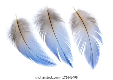 Group of 3 Real MACAW bird Feathers. Natural colors: Blue, Grey. Isolated on white background.