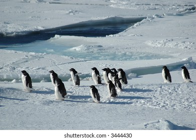 A group of about fifteen Antarctic adelie penguins crossing through the picture.