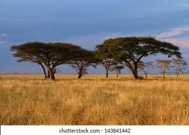 Group of Acacia trees in the Serengeti plains during sunset and with storm clouds in background