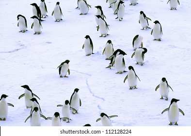 Group of adelie penguin on snow