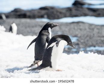 Group of the Adelie penguins (Pygoscelis adeliae) on the Antarctic coast
