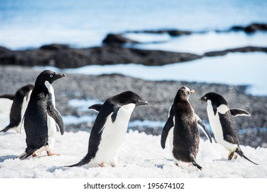 Group of the Adelie penguins (Pygoscelis adeliae) on the Antarctic coast