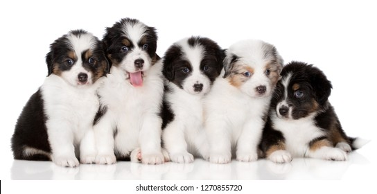 group of adorable aussie puppies on white