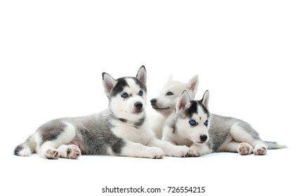 Group of adorable husky puppies lying isolated on white copyspace.
