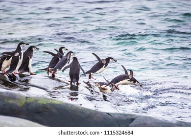 Group of adult Chinstrap Penguins diving in the sea from their colony for feeding or foraging on krill in the Antarctic Peninsula, wildlife,  Antarctica