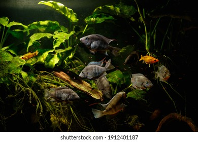 """A group of adult Firemouth cichlid (Thorichthys meeki) """"Angeles"""" Black variety feeding on bloodworm"""