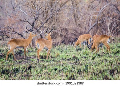 A group of adult male Uganda Kob walking through some bush that has recently been subjected to controlled fire management. The Uganda Kob is a sub-species and is only found in Uganda.