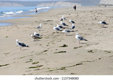 Group of Adult Seagulls at the Beach