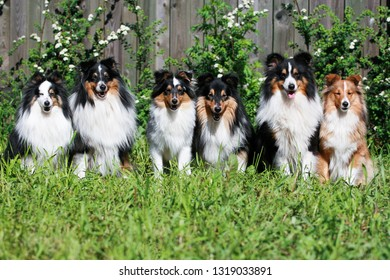Group of adult smart nice fluffy sable black white, tricolor shetland sheepdog, sheltie sitting on a grass field in a sunny summer day. Small, little collie, lassie dog smiling with green background