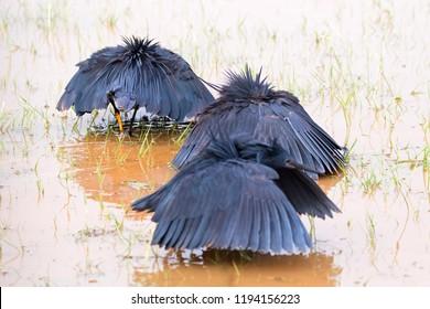 Group of African black heron, black egret using wings as canopy when fishing at Lake Manyara in Tanzania, East Africa (Egretta ardesiaca)