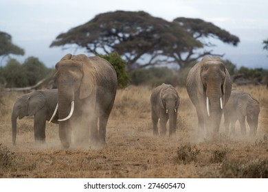 Group of African bush elephants  (Loxodonta africana) dusting to protect their skin from biting insects, Kenya