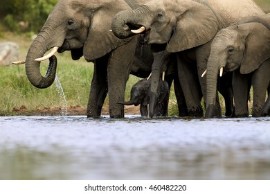 Group of  African Bush Elephants, Loxodonta africana, from adults to newborn calf, drinking at waterhole. Picture taken from water level. Kruger, South Africa.
