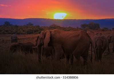 Group of African bush elephants  (Loxodonta africana) crossing at sunset, Kenya
