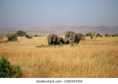 Group of African bush elephants in the Maasai Mara in Kenya