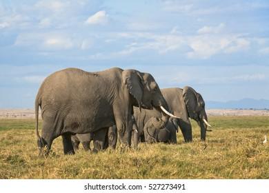 Group of African elephants  (Loxodonta africana)  ,two females with calves, Kenya