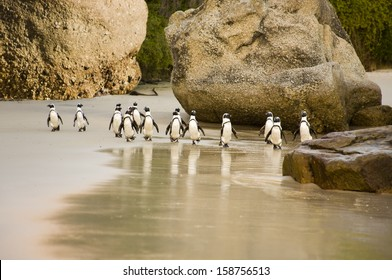 A group of African Penguins waddling across Boulders Beach, Cape Town, South Africa