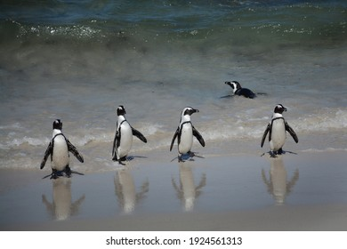 a group of african penguins waddling out of the atlantic ocean